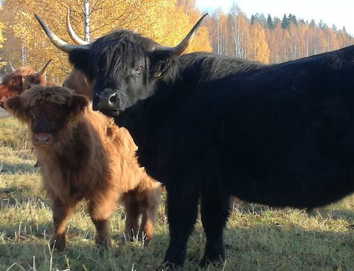 Highland Cattle 8