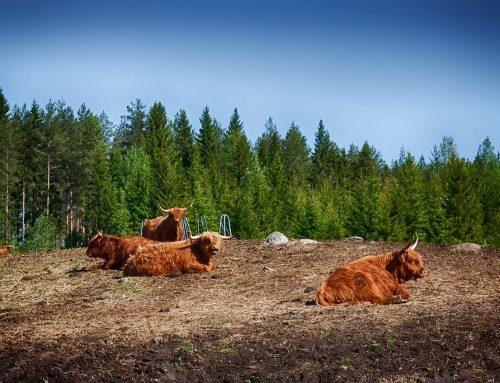 Highland Cattle 1