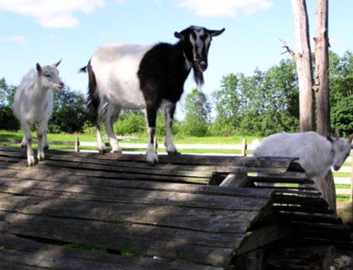 Goats, Vehmasmäen kotieläinpiha