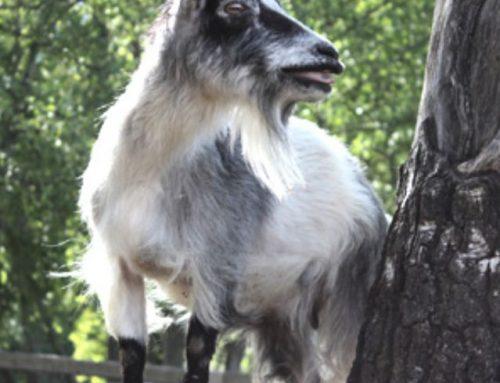 Goat, Vehmasmäen kotieläinpiha